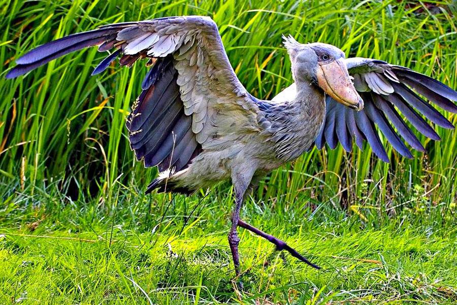 Очень редкая птицаКитоглав