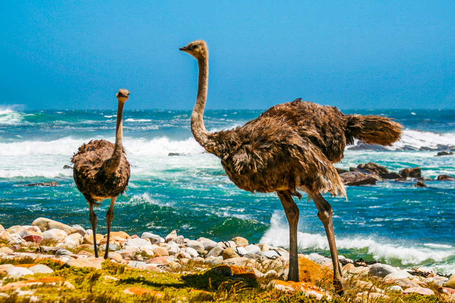 Strausy na beregu morja