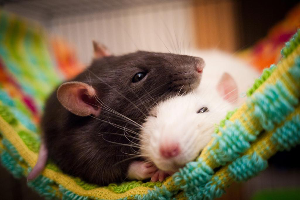 Красивые имена для крыс. Прикольные клички длякрыс